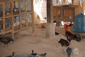 chickens2011